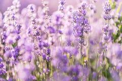 Den mjuka fokusen av lavendel blommar under soluppgångljuset Royaltyfri Fotografi