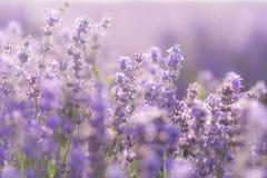 Den mjuka fokusen av lavendel blommar under soluppgångljuset Arkivbilder