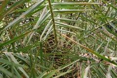 Den mjuka fokusen av sidor daterar palmträdet eller Phoenix som är dactylifera som en bakgrund royaltyfria bilder