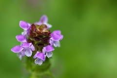 Den mjuka fokusen av själven läker växten som är bekant som, läker alla och dess lilor Royaltyfri Fotografi