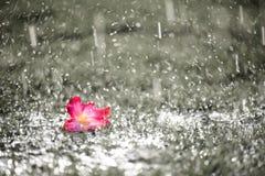 Den mjuka fokusen av slutet upp på ensamma rosa färger blommar med tung regna nolla Royaltyfri Foto