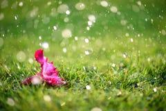 Den mjuka fokusen av slutet upp på ensamma rosa färger blommar med tungt regna Royaltyfri Fotografi