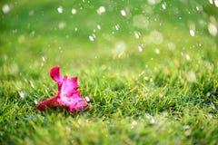 Den mjuka fokusen av slutet upp på ensamma rosa färger blommar med tungt regna Arkivfoto