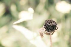 Den mjuka fokusen för sanning av liv, tro och hopplöst, dog blomman Arkivbilder