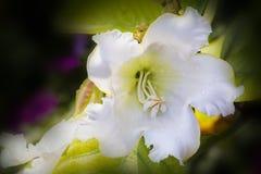 Den mjuka fokusen och den selektiva fokusen av härold` s trumpetar, påsken Lily Vine, grandiflora vägg för Beaumontia med oskarp  Arkivfoto