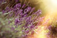 Den mjuka fokusen på lavendelblomman, härlig lavendel i blommaträdgård tände vid solljus Royaltyfri Foto