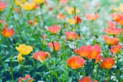Den mjuka fokusvårapelsinen och rosa färger blommar bakgrund Arkivfoton