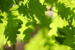 Den mjuka gröna eken lämnar ljus bakgrund Arkivfoto
