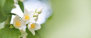 Den mjuka jasmin blommar på mjuk suddig bakgrund Blomstra vita kronblad växt, trädgårds- plats för sommartid Moget frö av granatä fotografering för bildbyråer