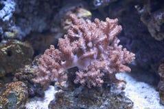 Den mjuka korallen fotografering för bildbyråer