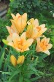 Den mjuka liljan blommar i trädgården med dagg på kronbladen Royaltyfri Foto