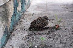 Den mjuka lilla fågeln nära väggen skrämmas Arkivbild