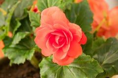 Den mjuka nya röda begoniafrottén blommar och kronbladbusken i en tu Royaltyfria Bilder