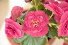 Den mjuka nya rosa begoniafrottén blommar och kronbladbusken i en t Arkivfoton