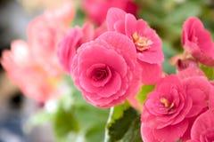 Den mjuka nya rosa begoniafrottén blommar och kronbladbusken i en t Royaltyfri Foto