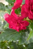 Den mjuka nya rosa begoniafrottén blommar och kronbladbusken i en t Royaltyfria Bilder