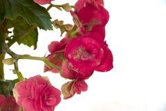 Den mjuka nya rosa begoniafrottén blommar och kronbladbusken i en t Fotografering för Bildbyråer
