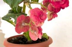 Den mjuka nya rosa begoniafrottén blommar och kronbladbusken i en t Arkivfoto