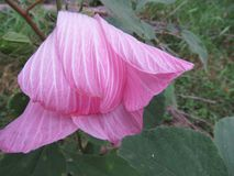 Den mjuka rosa hibiskusen vek över royaltyfri foto