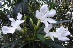 Den mjuka rosa söta oleanderblomman eller en fjärd av rosor den doftande oleander, oleander, oleanderNerium L, maler Neriumindicu fotografering för bildbyråer
