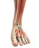 Den mänskliga foten tränga sig in anatomi Arkivbild