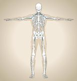 Den mänskliga nervsystemet Royaltyfria Foton