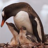 Den moderGentoo pingvinet med henne behandla som ett barn Royaltyfri Bild