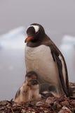 Den moderGentoo pingvinet med henne behandla som ett barn Royaltyfria Bilder