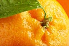 Den mogna apelsinen med lämnar arkivbilder