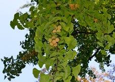 Den mogna closeupen för ginkgobilobafrukt i höst parkerar royaltyfri fotografi