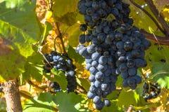 Den mogna gruppen av blåa druvor hänger på en buske i hösten Närbild royaltyfri foto