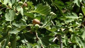 Den mogna och gröna gemensamma fikonträdet bär frukt på en fikonträd arkivfilmer