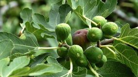 Den mogna och gröna gemensamma fikonträdet bär frukt på en fikonträd stock video