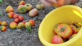 Den mogna organiska tomaten för tomatgrönsakträdgården frigör inget GMO naturligt lantbruk inga kemikalieer arkivfilmer