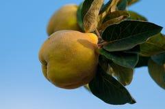 Den mogna quincen förgrena sig på Royaltyfri Foto