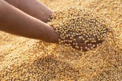 Den mogna sojabönan kärnar ur i händer av bonden arkivbilder
