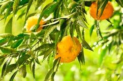 Den mogna tangerin bär frukt på trädet Arkivbild