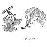 Den monokromma linjen stilfärgpulver skissar av ginkgo Royaltyfria Bilder