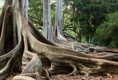 Den Moreton fjärdfikonträdet rotar Arkivfoton