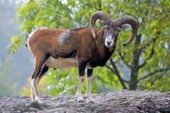 Den Moufflon bocken, det stora manliga anseendet vaggar på och att hålla ögonen på Arkivfoto