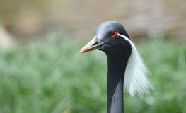 Den mörker färgade fågeln stirrar bak kamera Royaltyfri Fotografi