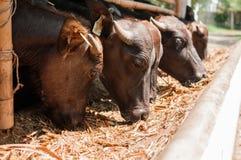 Den Murrah baffaloen som äter gräs mjölkar in, lantgården, Thailand arkivfoto