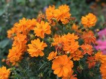 Den mycket färgrika apelsinen blommar med gröna sidor i en trädgård arkivfoto