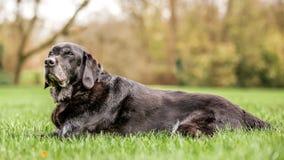 Den mycket gamla svarta labradoren som ligger i, parkerar eller skogen royaltyfria bilder