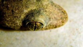 Den mycket lilla geckon som bodde i mitt kök royaltyfria foton