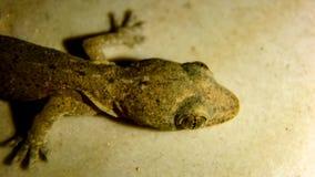 Den mycket lilla geckon som bodde i mitt kök royaltyfri fotografi