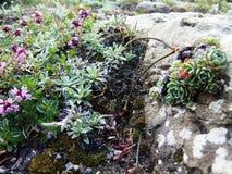 Den mycket lilla växter och grå färgen vaggar Arkivbild