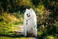 Den mycket roliga lyckliga roliga älskvärda älsklings- vita Samoyedhunden som är utomhus- i sommar, parkerar Arkivbild