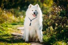 Den mycket roliga lyckliga roliga älskvärda älsklings- vita Samoyedhunden som är utomhus- i sommar, parkerar Arkivfoto
