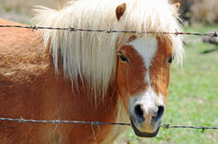 Den mycket små feta sunda miniatyren storleksanpassar ponnyn som closup av vänder mot Royaltyfri Fotografi